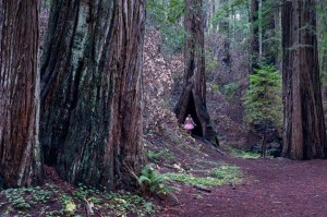 Redwoods. Montgomery Grove, California. Copyright Bob Carey
