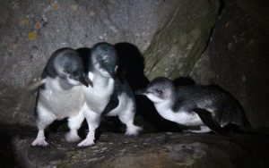 Little Blue Penguins 30-08-15 Port